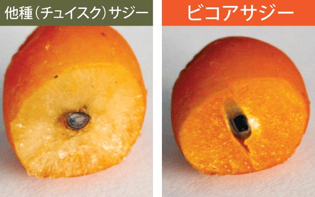 ビコアサジーと他種サジーの果実の違い